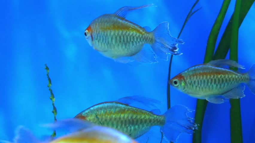 Congo tetra (Phenacogrammus interruptus) is a species of fish in African tetra family. It is found in central Congo River Basin in Africa. It is commonly kept in aquaria.