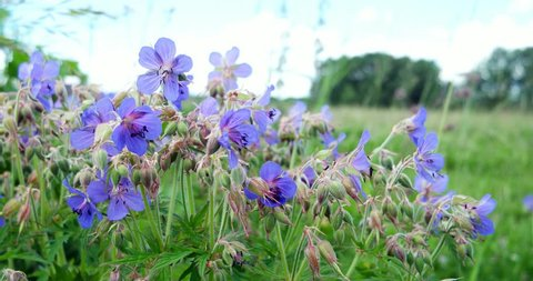 Meadow Geranium are swaying in the wind. Bluish-blue petals of the meadow cranesbill.