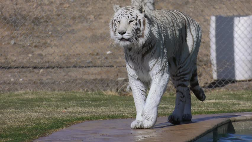 white tiger walking after going for a swim in sanctuary