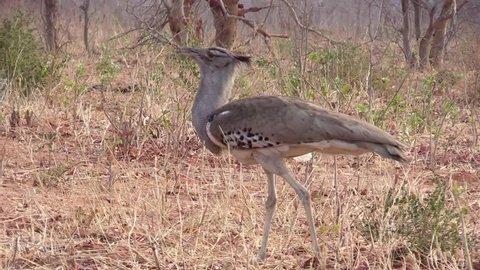 Kori Bustard (Ardeotis Kori) slowly walking and searching food in the bush - Chobe NP (Botswana) HD1080