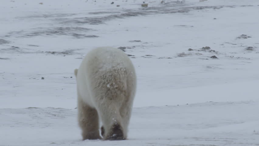 Polar bear walks away over snow and rocks showing its rump and huge feet