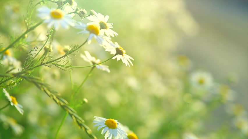 Chamomile flowers field close up with sun flares. Daisy flowers. Beautiful nature scene with blooming medical chamomilles in sun flare. Sunny day. Summer flowers. Camomille background. 4K UHD video