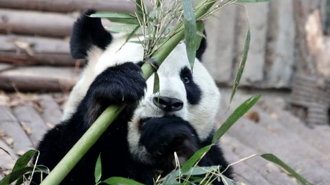 Panda Bear is Eating Fresh Bamboo, Chengdu, China