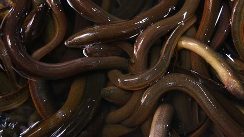 eels in the market , chiangmai Thailand