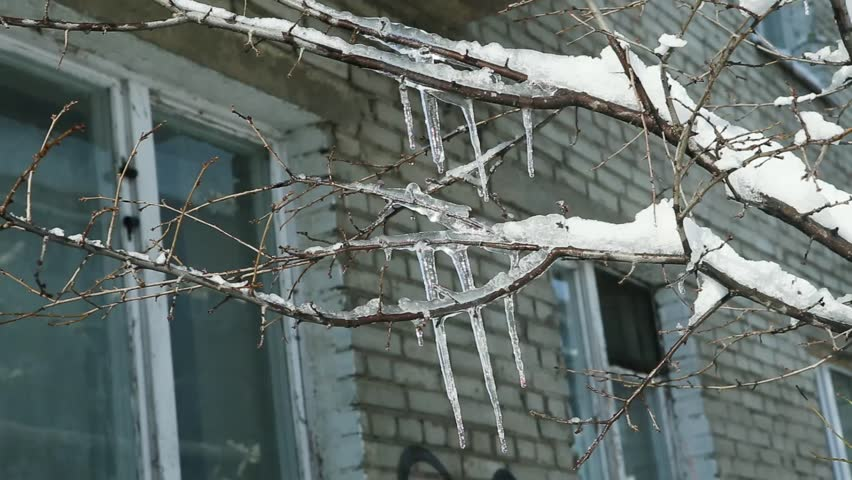 closeup icicles on trees in winter