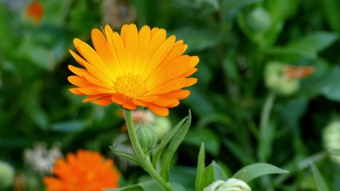 Breeze blowing the orange Pot marigold blossom. Close up of  blooming Calendula officinalis. Out of focus green meadow background.  Nature, springtime concept.  Flower gardening concept.