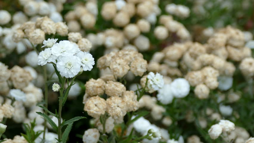 Header of Achillea Ptarmica