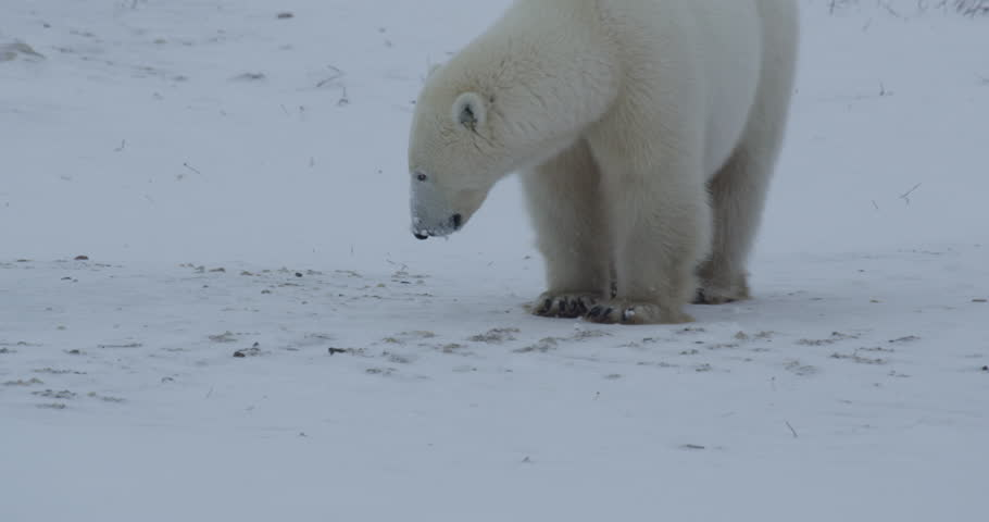 Lone polar bear sniffs ground and walks away over frozen tundra