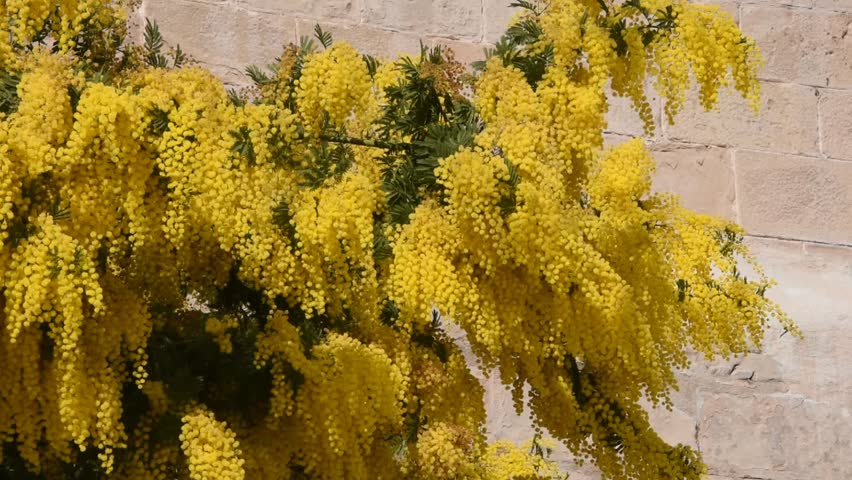 Branches Of Mimosa Acacia Dealbata Stock Footage Video 100