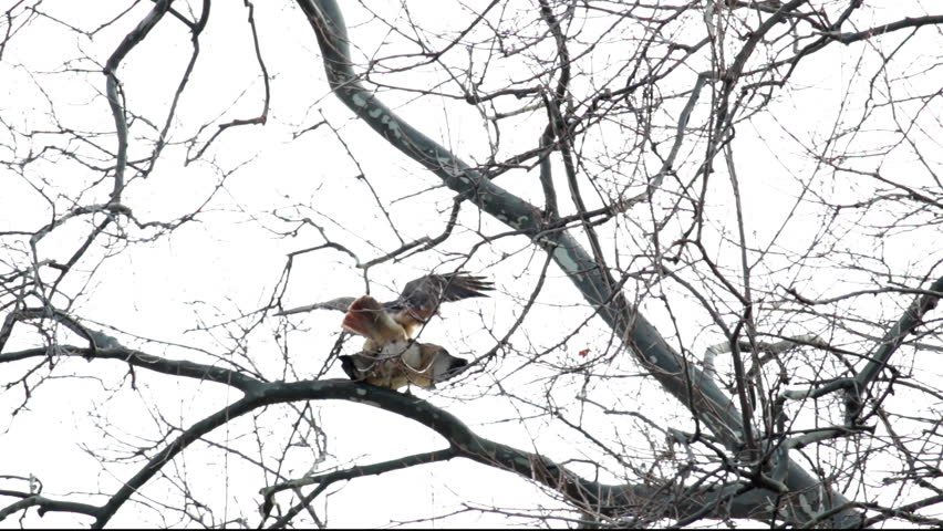 Red-tailed hawks copulating on bare tree branches, then one hawk flies away and another stays after mating. Toronto, Ontario, Canada in early March