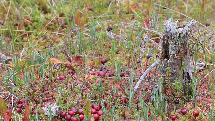 Header of American cranberry