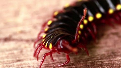 black yellow costarican millipede, centralamerica myriapoda diplopoda polydesmida in OTS La Selva
