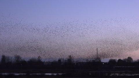 Large flock of starlings in murmuration 4K
