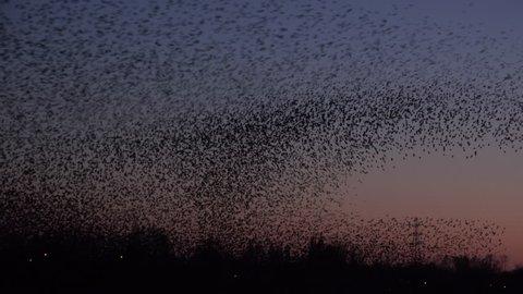 large flock of starlings 4k