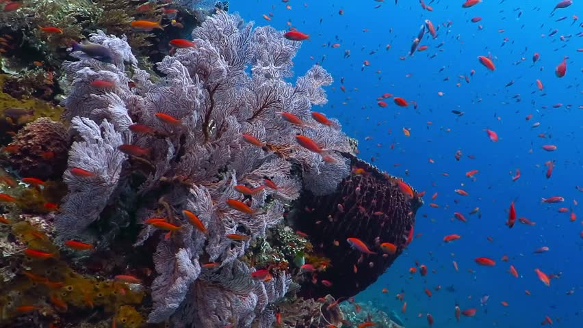 Underwater footage of healthy coral reef with big sponge and lots of colorful fish. Scuba diving and snorkeling with sea wildlife. Sea life snorkeling.