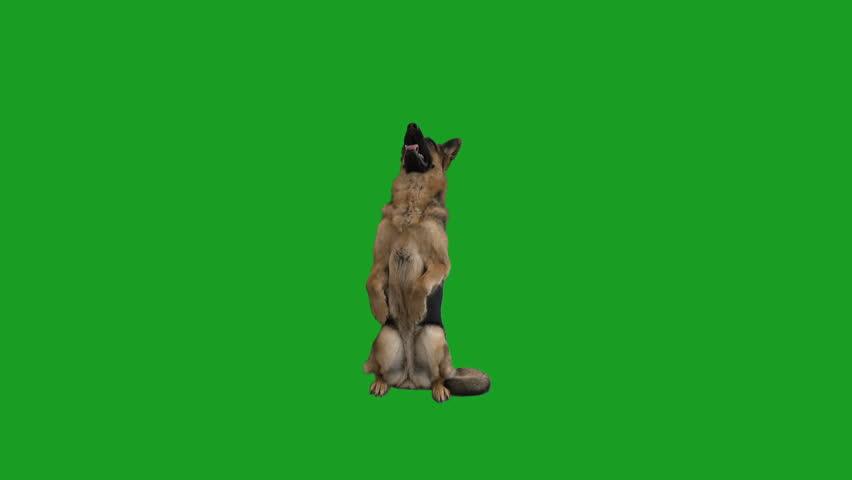 German Shepherd on hind legs on green screen #1008420832