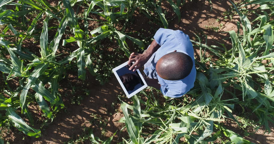 4K Aerial view directly above a black african farmer monitoring his corn crop with a tablet