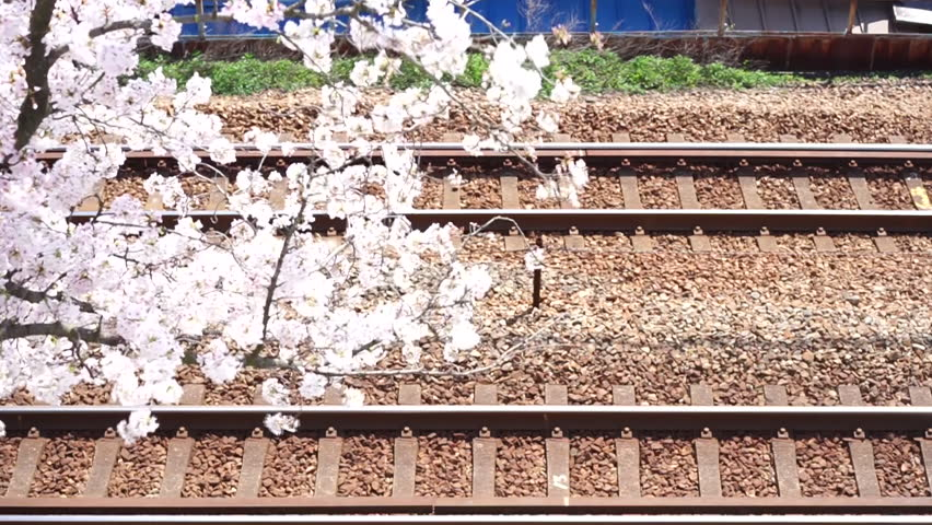 Cherry blossoms · Cherry blossoms and railroads in full bloom in Onomichi city