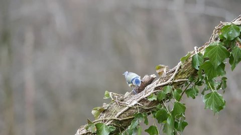 Eurasian blue tit (Cyanistes caeruleus) on tree stump