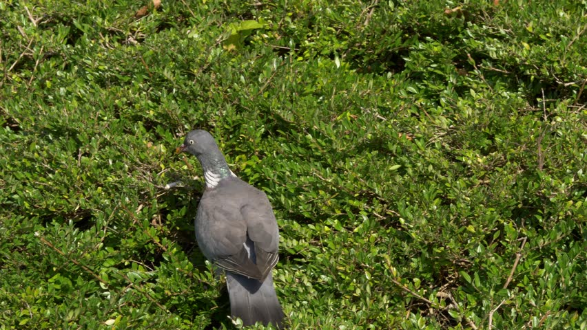 Pigeons In A Bush, Looking for food