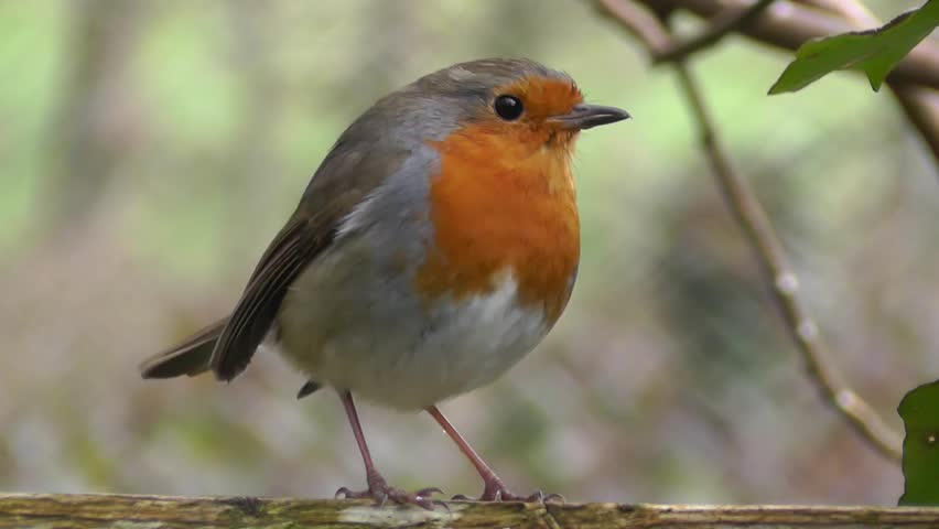 Close-up macro view of wonderful redbrest bird Robin singing on a stick in a forest | Shutterstock HD Video #1008490132