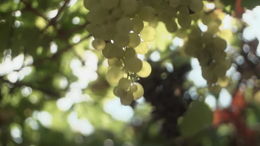 Unrecognisable woman hands with nail polish and golden rings touching bunch of white grapes hanging on stem at vineyard, sunny summer day outdoors, close up slow motion