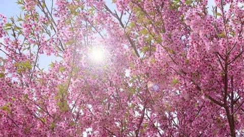 Cherry blossom sakura (Prunus Cesacoides, Wild Himalayan Cherry) in springtime. Cherry blossom sakura (Prunus Cesacoides, Wild Himalayan Cherry) is very beautiful