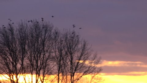 Ducks landing in sunset England game shooting 4K