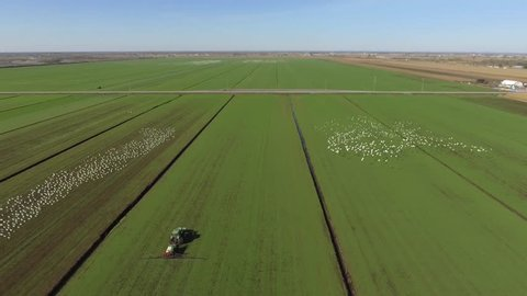 aerial sod farm tractor and snow geese being pests on the land 4k