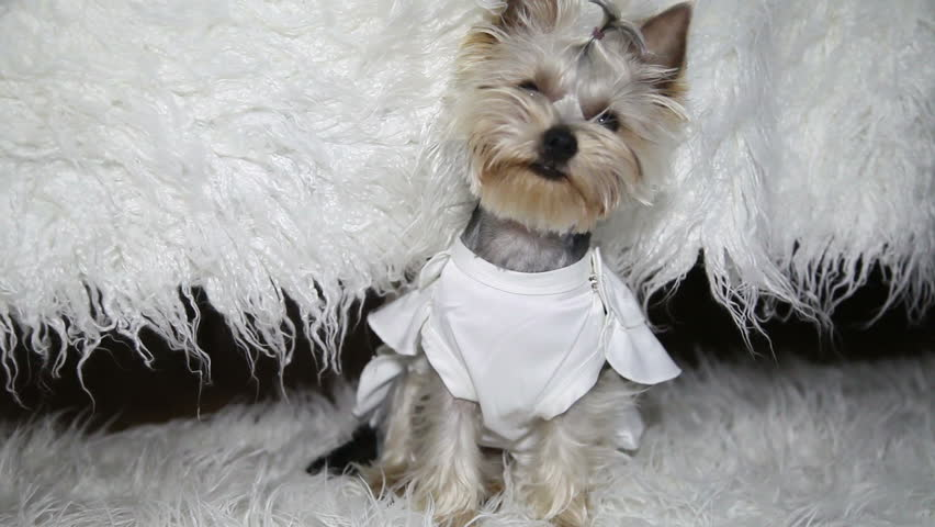 Dog In Wedding Dress Sitting On Bed. Funny Dog. Yorkshire. Stock ...