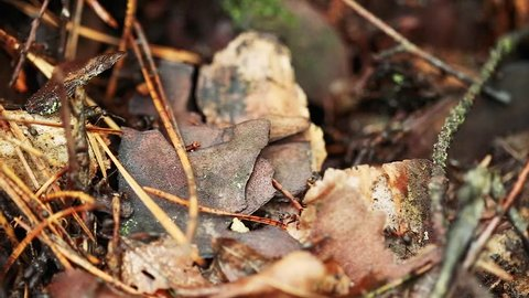 Red Forest Ants Formica Rufa On A Fallen Old Tree Trunk. Ants Moving In Anthill