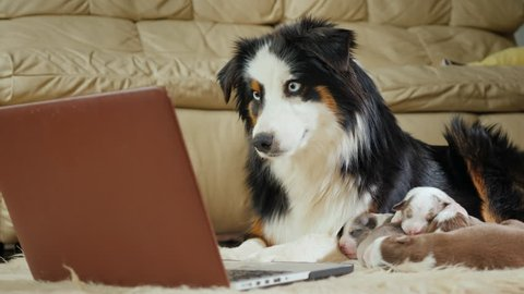 The mother of many children - a dog watching a video on a laptop. Funny videos with animals and gadgets