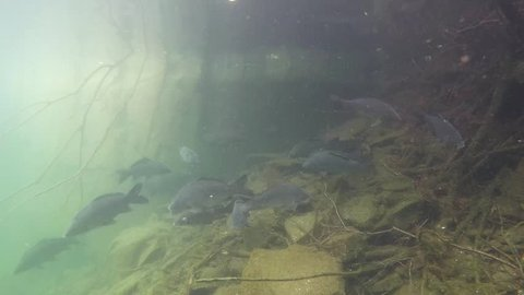 Freshwater fish carp Cyprinus carpio in the beautiful clean pound. Underwater shot in the lake. Wildlife animal. Underwater footage of group of Carps in the nature habitat with nice background.