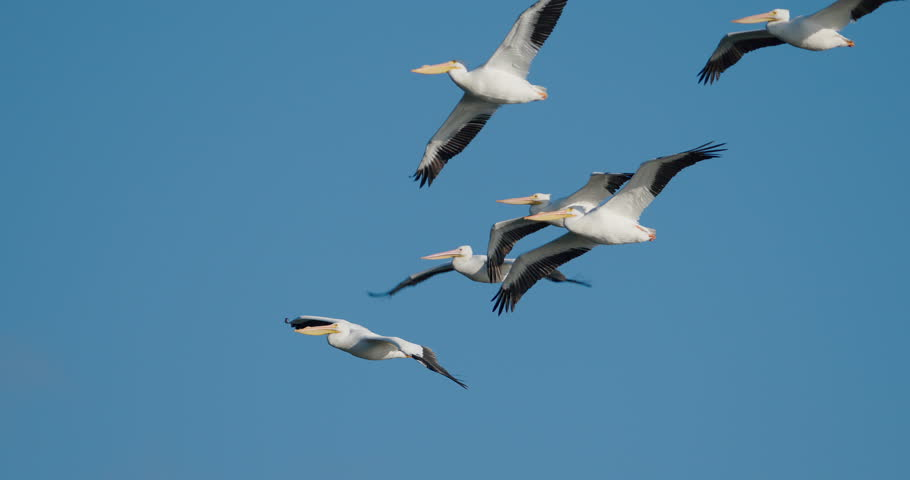 Flock of pelicans flying an 4K slow-motion at 120 fps.