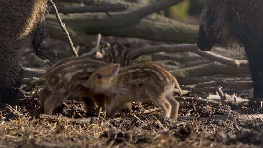 Wild boar piglets (Sus scrofa) fighting | Shutterstock HD Video #1008864992
