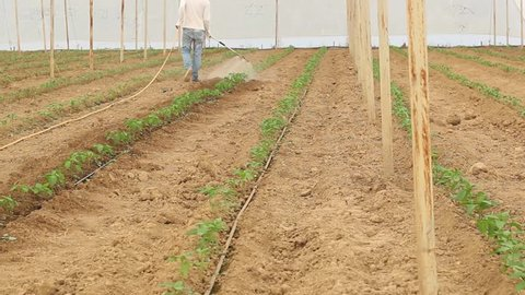 fumigation of plantation, peppers plants in greenhouse