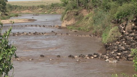 many wildebeests crossing mara river at different points.