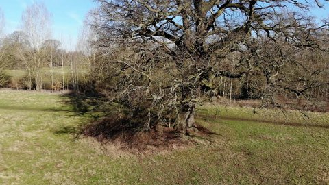 Aerial View Panning Up Oak Trees In Winter To Revel English Parkland