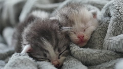 Two Newborn kittens sleeping under wool blanket
