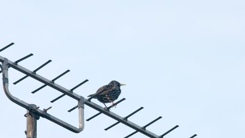 Starling on a TV Aerial