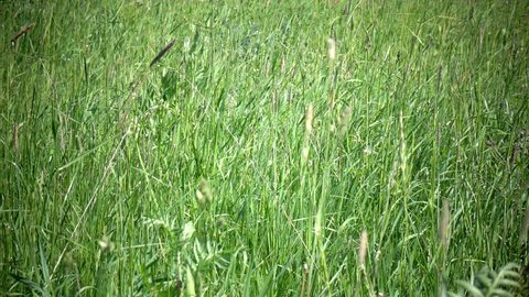 Tall grass blowing in the breeze.The strong wind inclines Timothy-grass Phleum pratense in field to summer sunny day