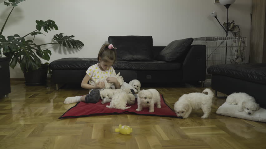 Happy toddler enjoying in leisure time with bichon doggies at home, child sits on floor and holding adorable white puppy. Female kid playing and caressing sweet dogs. Toddler and pets in funny action.