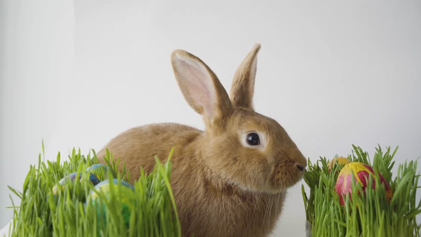 Fluffy easter bunny hunts for colored Easter eggs on green grass on isolated white background close-up