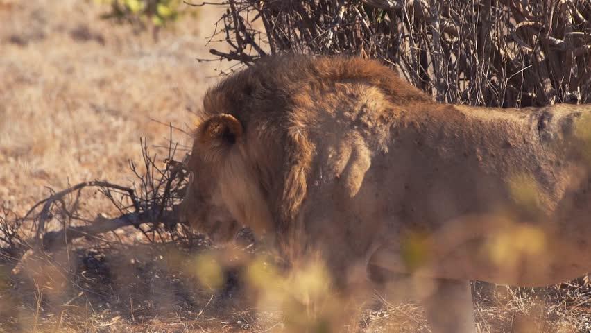 African Lion Walking in Slow Stock Footage Video (100% Royalty-free)  1009064342 | Shutterstock