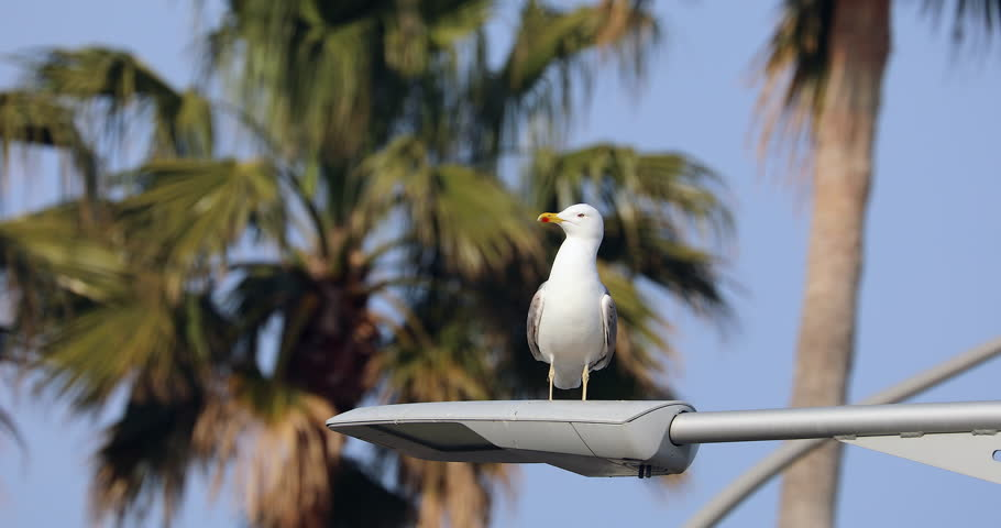 Seagull Stands On Lamppost With The Blue Sky And Palm Trees in The Background, Close Up View - DCi 4K Resolution