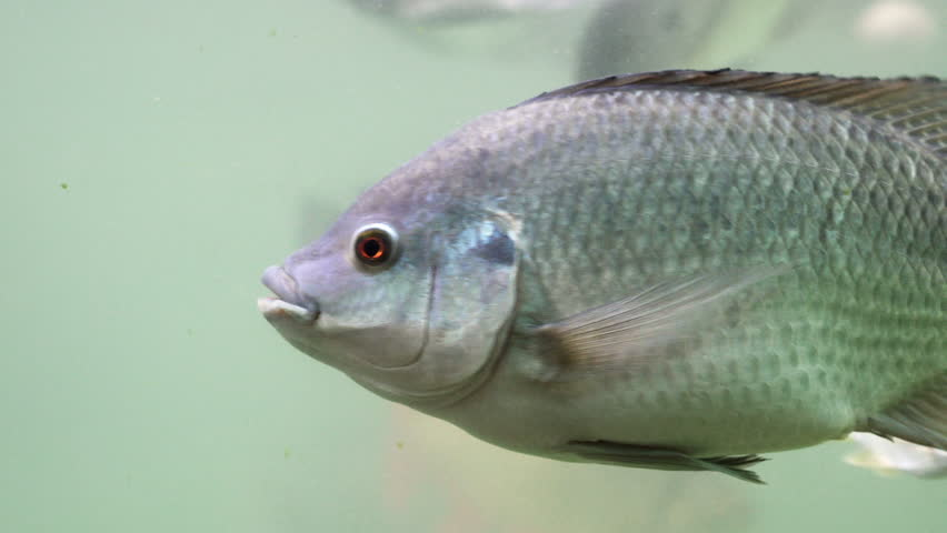 Freshwater fish swim underwater. By looking from the side.