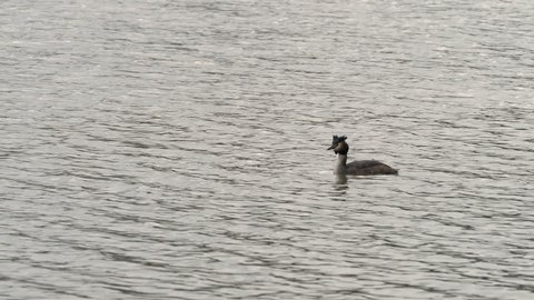 Great crested grebe (Podiceps cristatus) swimming on a lake on a dull spring day
