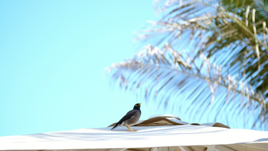 Against the blue sky and palm trees, on the roof of a beach umbrella an exotic bird sits. Close-up | Shutterstock HD Video #1009223792