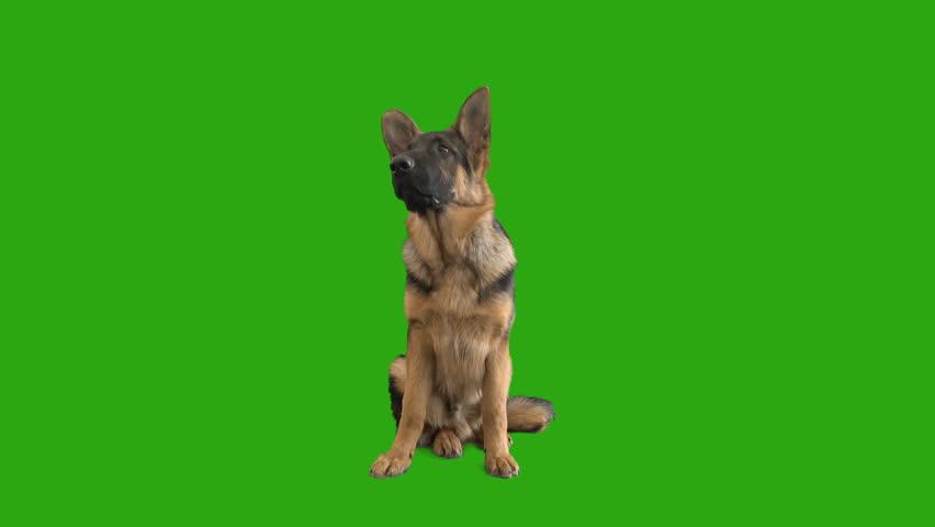 Shepherd puppy sitting on a green screen #1009225562