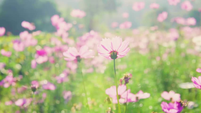 Beautiful Pink Cosmos Flower In Stock Footage Video 100 Royalty